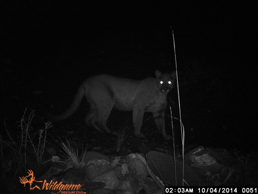 Mountain Lion in Freemont County.
