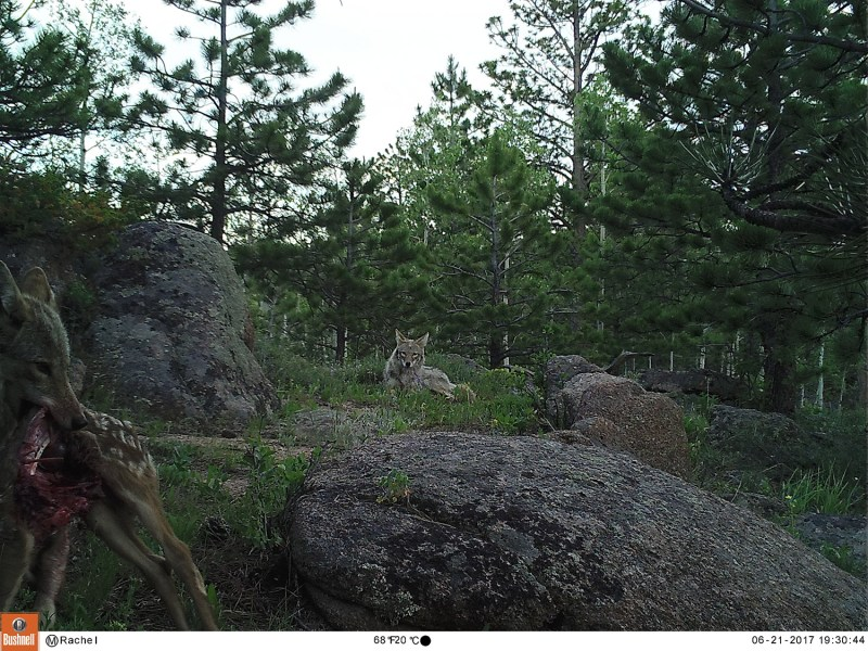 Coyote near Red Feather Lakes, CO.