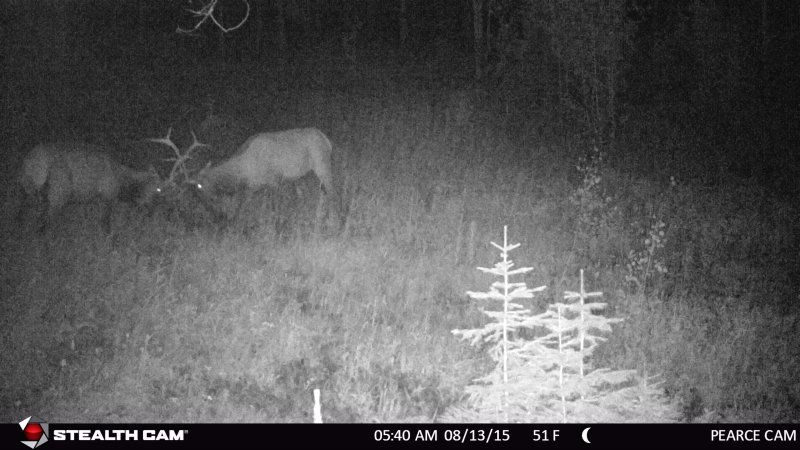 Elk spar during the rut.