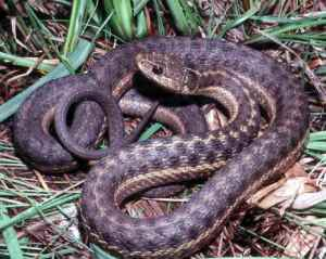 A western terrestrail garter snake.