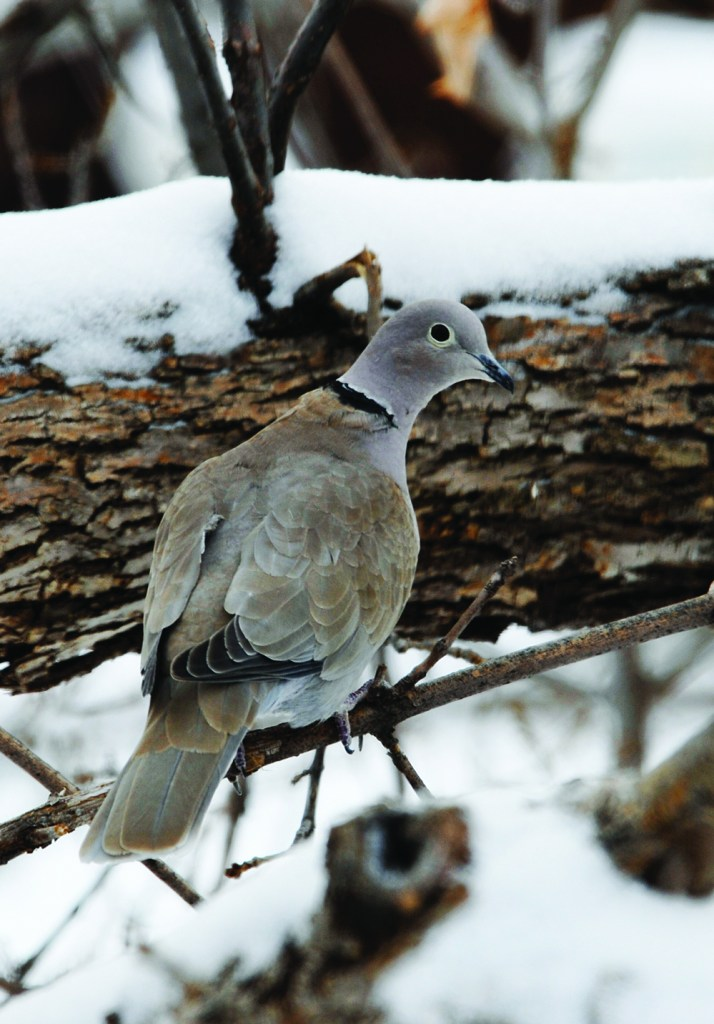 The non-native Eurasion collared-dove is larger than a mounting dove and remains in Colorado year-round. Photo by © Wayne D. Lewis/CPW