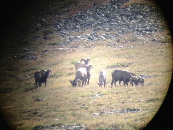 Bighorn Sheep feeding.