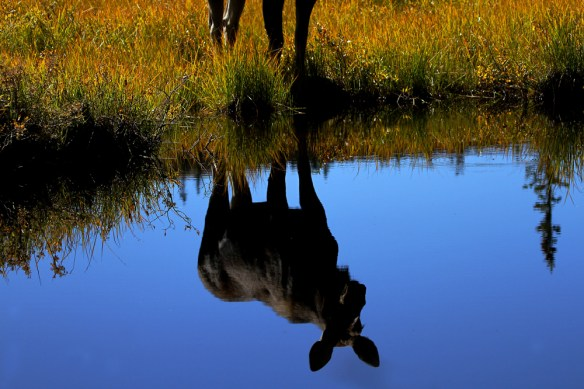 A cow moose.   Photo by © Amy Bulger/CPW
