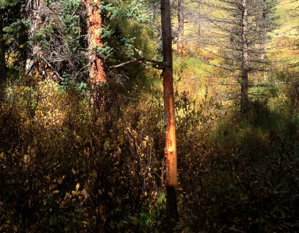 No matter where you are scouting, look for rubbed trees. Bull moose begin rubbing in early September to clean velvet off their antlers.