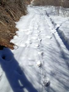 My Lion's tracks