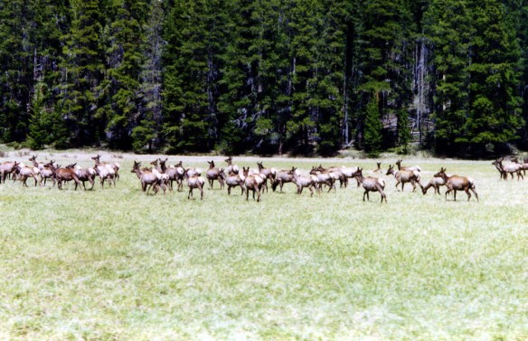 Colorado is home to the largest elk population in the world. Yet despite vast herds of elk, only around 25 percent of hunters are succesful each year.