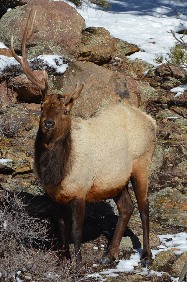 An atypical bull elk.