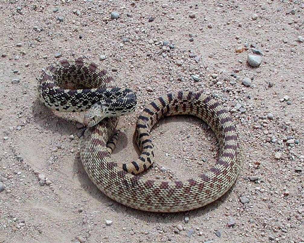 Congratulate, rattlesnakes babies and adults differences commit