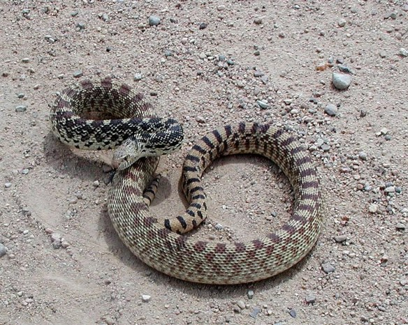 A bullsnake coils to defend itself. Bullsnakes are often mistaken as rattlesnakes because of their ability to mimic rattling sounds by shaking their tail.  Like other snakes, bullsnakes help manage rodent populations.