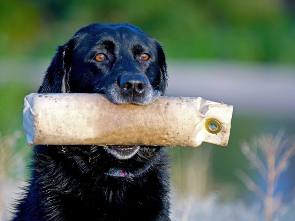 A black lab holds a retrieving dummy. Photo by Jerry Neal/CPW.