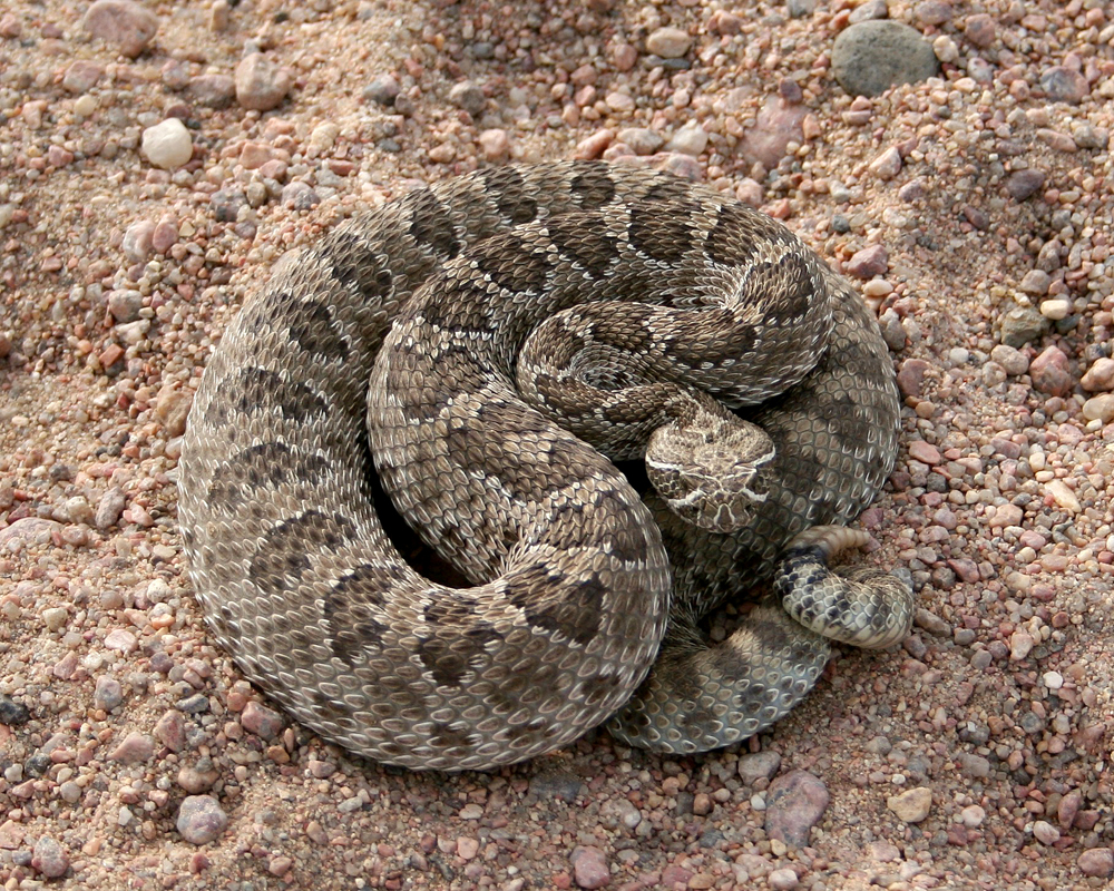 Colorado Rattlesnakes What Sportsmen Should Know