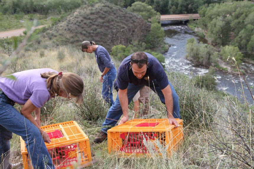 Biologists prepare to release chukar in the Poudre Canyon. Photo by Manda Walters/CPW.