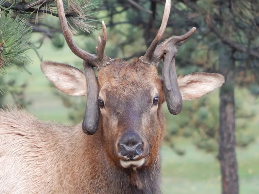 This Estes Park bull elk attracted a lot of attention with his nontypical antlers. Photo by Jim Austin.