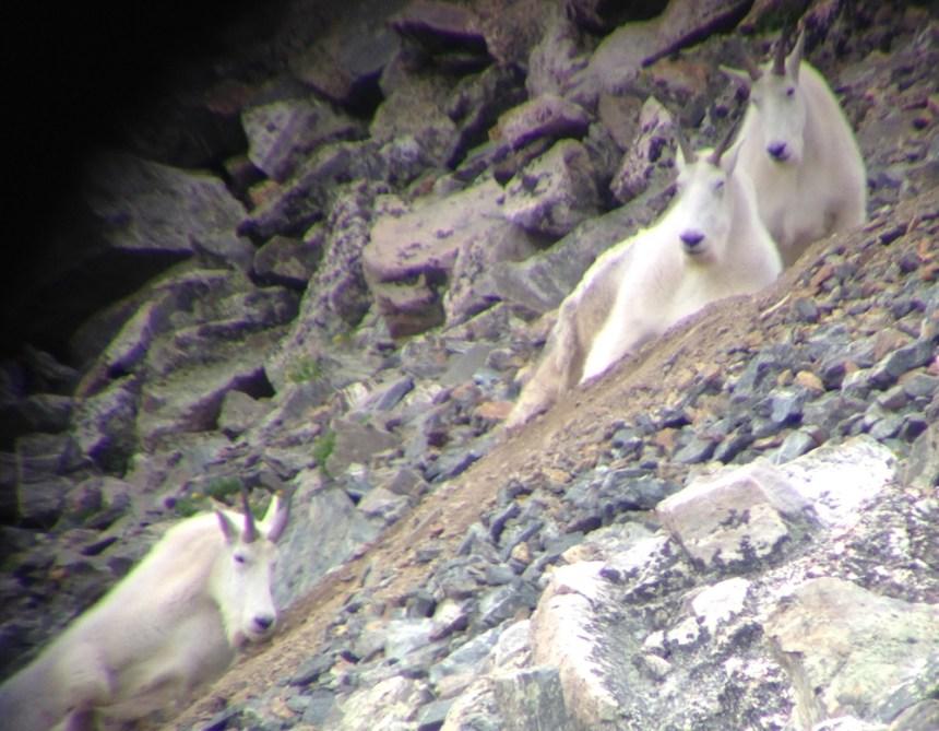 Three mature billies as seen through my spotting scope.