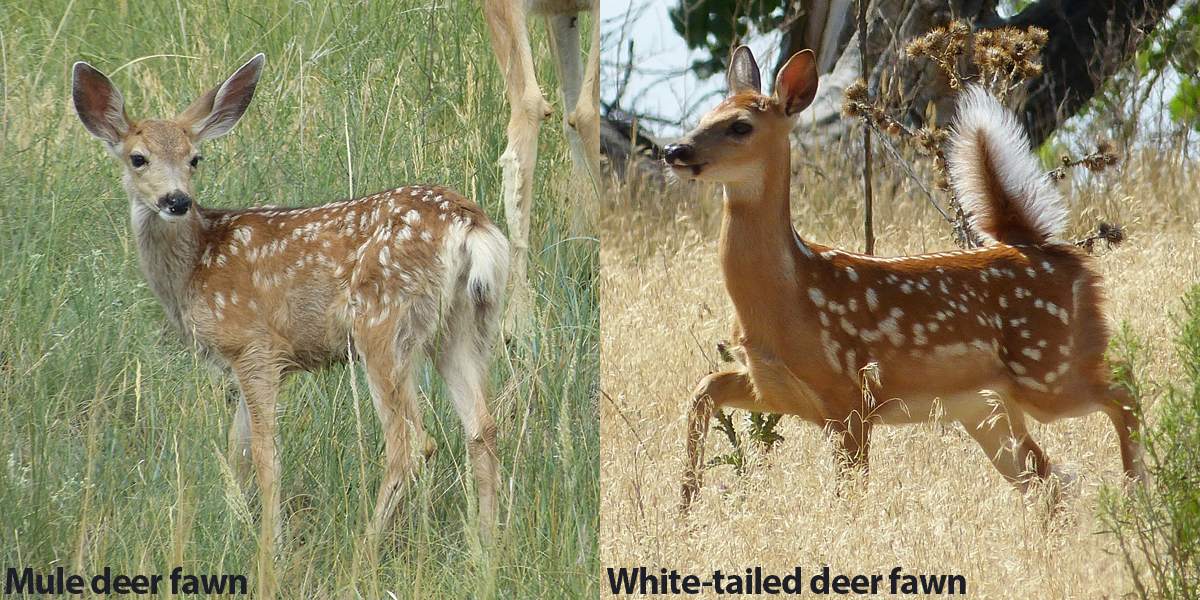 A Quick Guide To Differentiate Mule Deer From White Tailed Deer