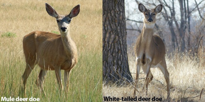 Mule Deer vs Whitetails does front