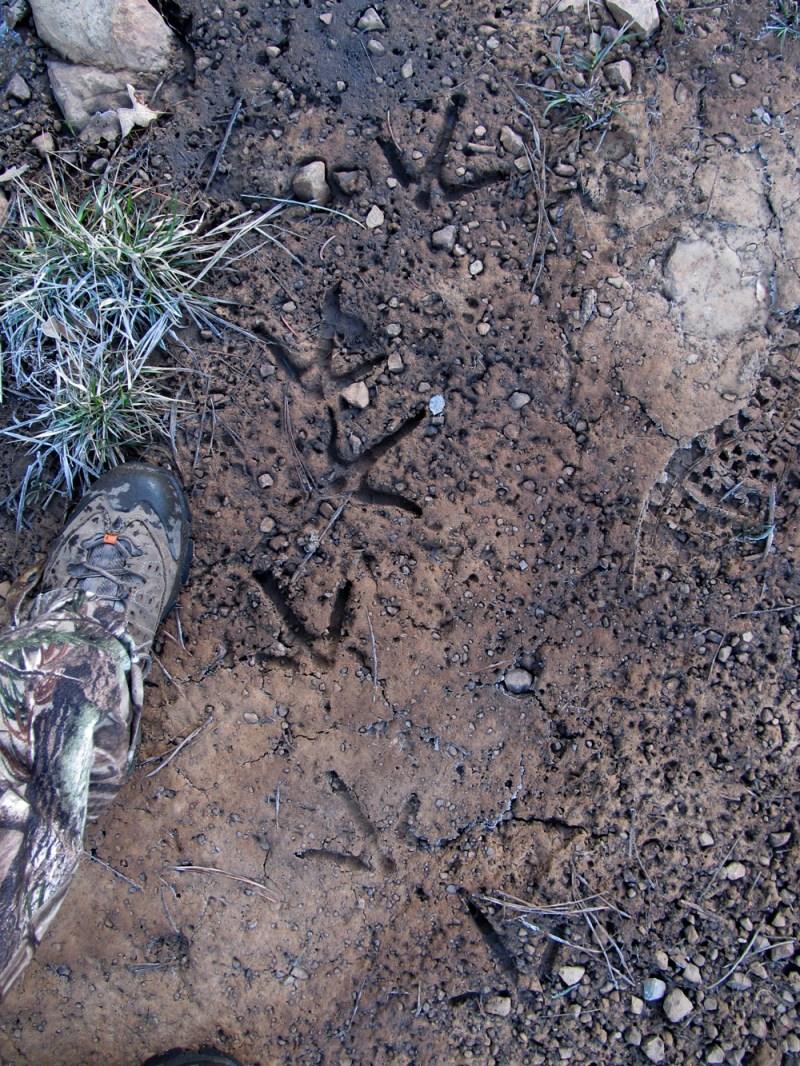 Turkey tracks in mud