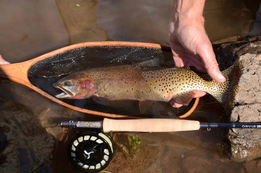 A wilderness cutthroat. Photo courtesy Winterhawk Outfitters.