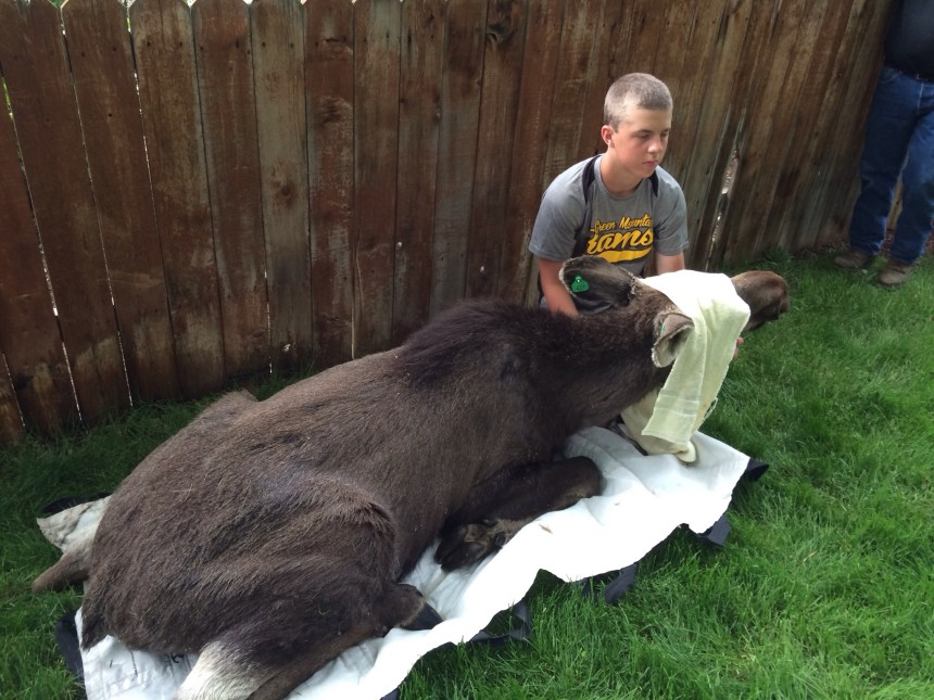 Volunteer Christian Schaller helps to keep a tranquilized moose calm as wildlife officers prepare to move it from a Lakewood yard. Photo by CPW.