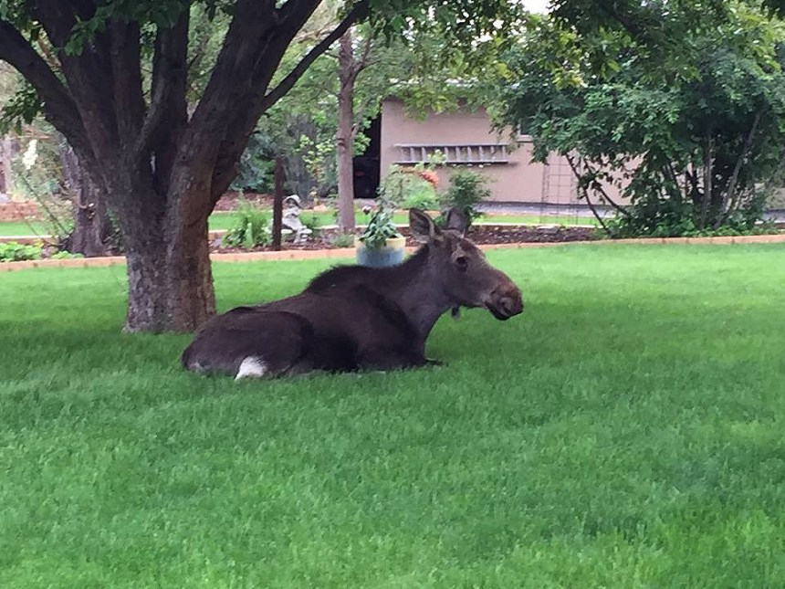 A cow moose rests on a lawn in Lakewood