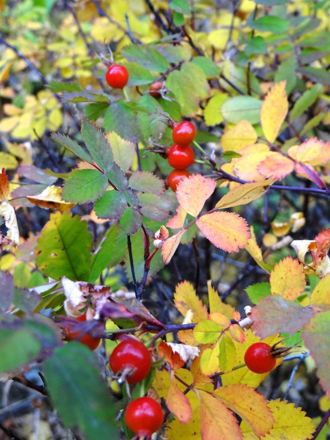 Wild rose hips and leaves in their autumnal splendor at Golden Gate Canyon State Park. Photo by Linda Pohle.