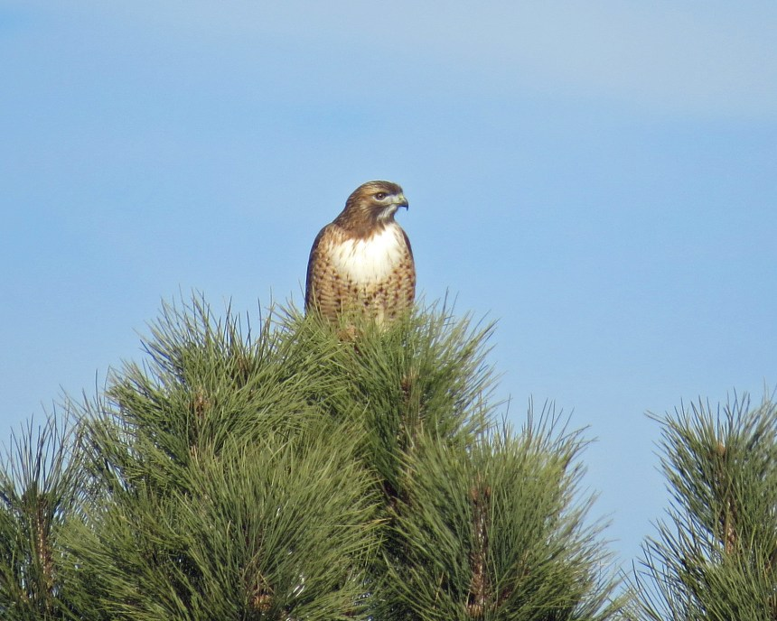 1. Red-tail belly band