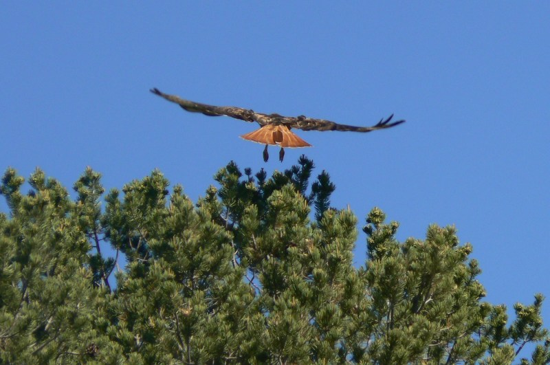 2. Red tail