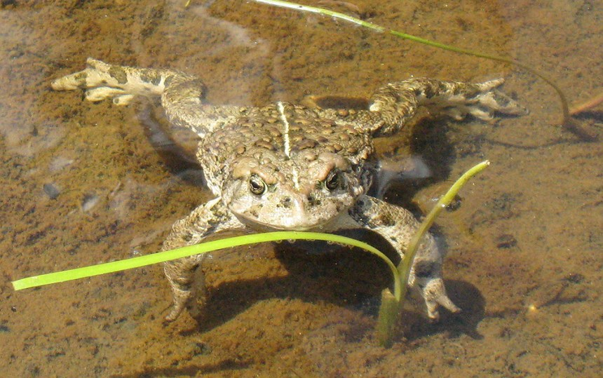 boreal toad for blog