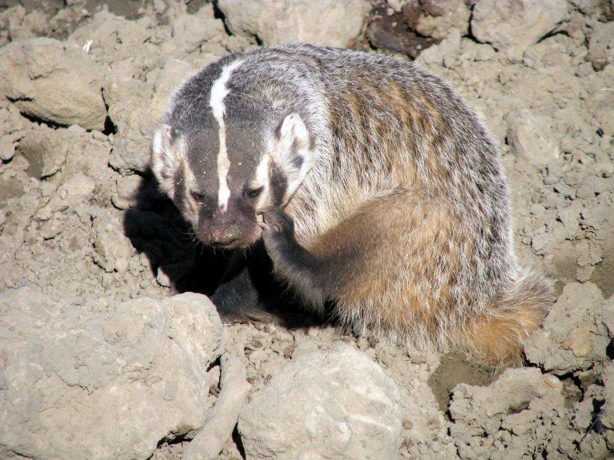 Badger 11 WY Pronghorn hunt