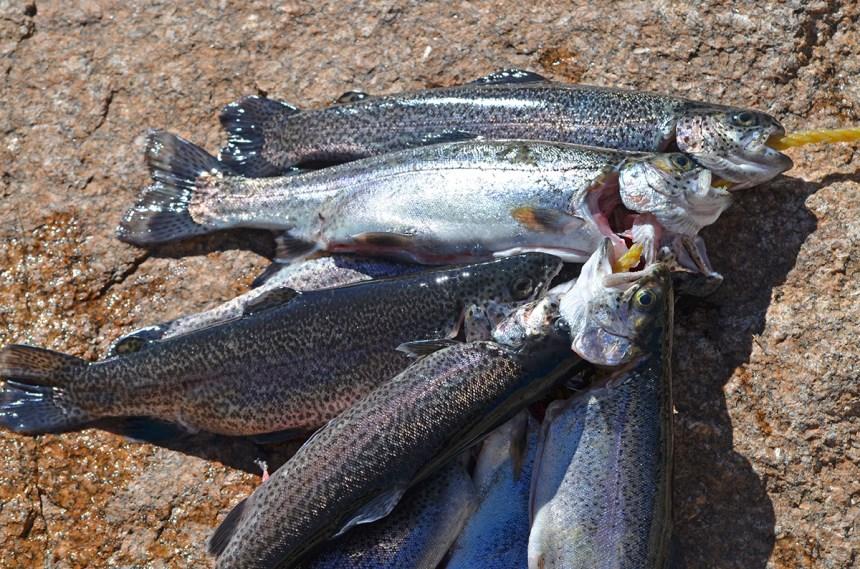 sm-stringer-rainbow-trout-wayne-d-lewis-dsc_0455