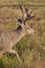 MD-buck-shedding-velvet-Wayne-D-Lewis-DSC_1165