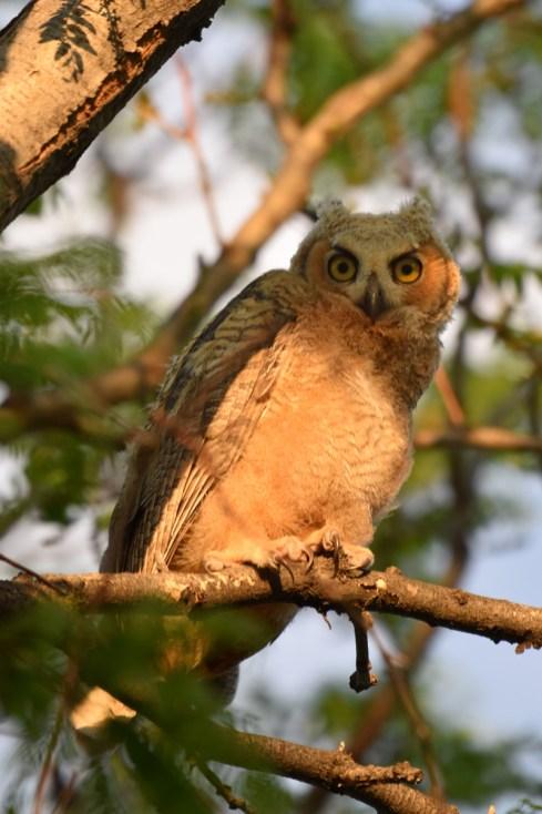 crop-GH-owl-chick-Wayne-D-Lewis-DSC_0430