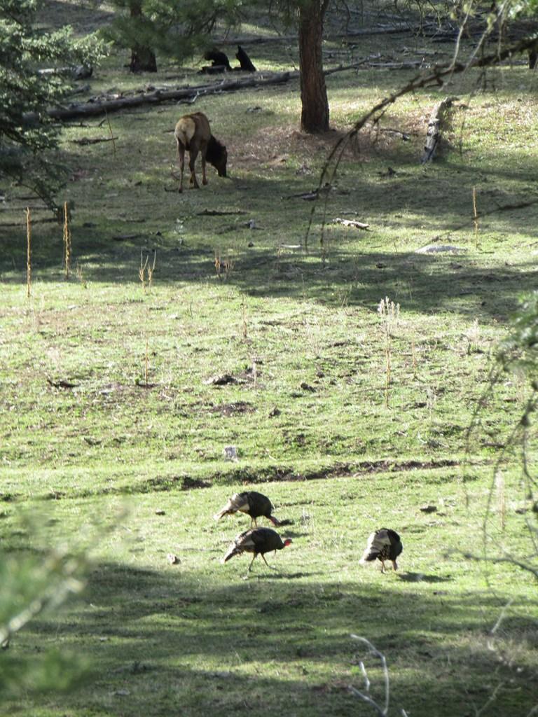 Elk-Turkey