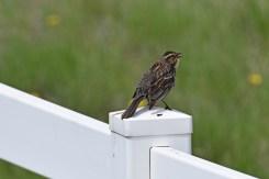 female-red-winged-blackbird-Wayne-D-Lewis-DSC_0031