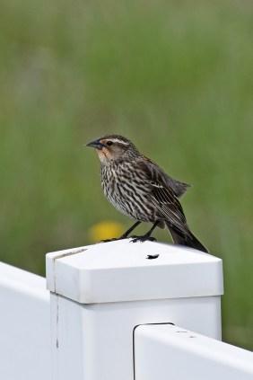 female-red-winged-blackbird-Wayne-D-Lewis-DSC_0035_1
