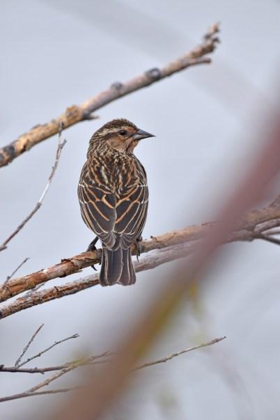 female-red-winged-blackbird-Wayne-D-Lewis-DSC_0291