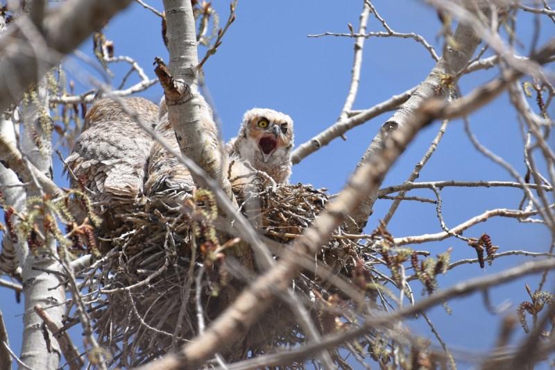 GH-owl-chick-Wayne-D-Lewis-DSC_0070