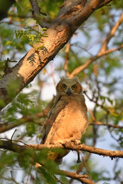 GH-owl-chick-Wayne-D-Lewis-DSC_0431