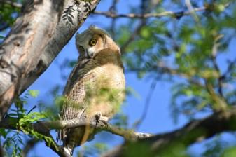 GH-owl-chicks-Wayne-D-Lewis-DSC_0236