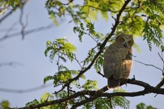 GH-owl-chicks-Wayne-D-Lewis-DSC_0282