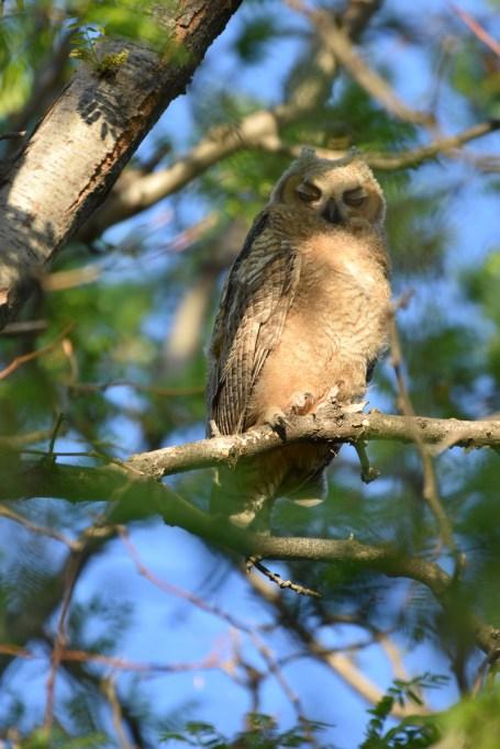 GH-owl-chicks-Wayne-D-Lewis-DSC_0364