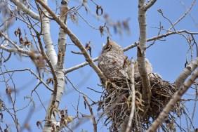 GH-owl-nest-Wayne-D-Lewis-DSC_0032