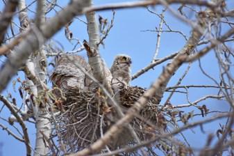 GH-owl-nest-Wayne-D-Lewis-DSC_0084
