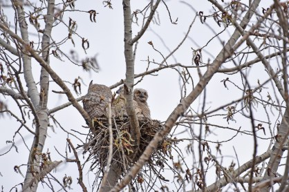 GH-owl-nest-Wayne-D-Lewis-DSC_0153