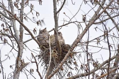 GH-owl-nest-Wayne-D-Lewis-DSC_0157