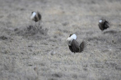 greater-sage-grouse-Wayne-D-Lewis-DSC_0122