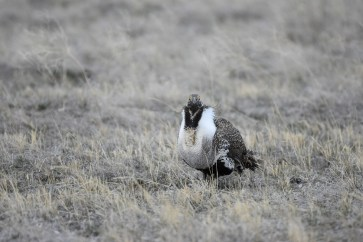 greater-sage-grouse-Wayne-D-Lewis-DSC_0132