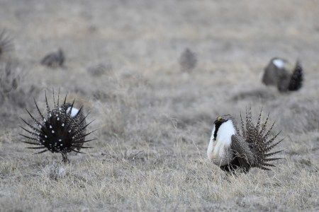 greater-sage-grouse-Wayne-D-Lewis-DSC_0165