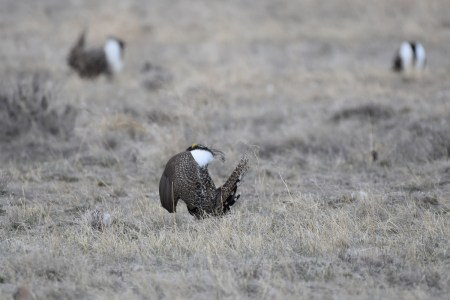 greater-sage-grouse-Wayne-D-Lewis-DSC_0188