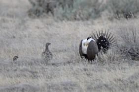 greater-sage-grouse-Wayne-D-Lewis-DSC_0271